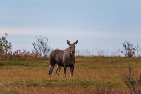 Portrait of female moose (alces alces) starring and standing Stock Photo