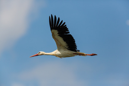 Portrait of flying natural white stork (Ciconia ciconia) in blue sky Stock fotó