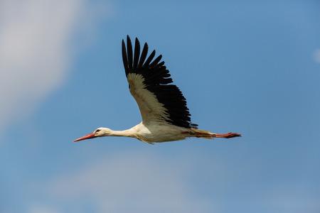 Ritratto di pilotare cicogna bianca naturale (ciconia di Ciconia) in cielo blu Archivio Fotografico - 67173688