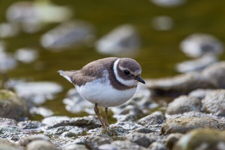Portrait of ringed plover (Charadrius hiaticula) walking Stock Photo