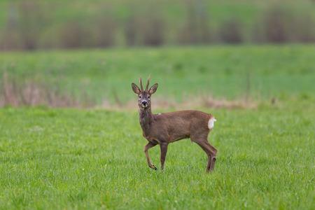 roebuck: Young roebuck standing in green meadow