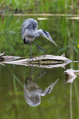 gray herons: Portrait of grey heron (Ardea cinerea) standing on branch in green water