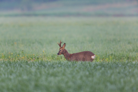 glades: Young roebuck standing in green meadow