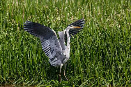 portrait of natural grey heron (Ardea cinerea) during take off Stock Photo