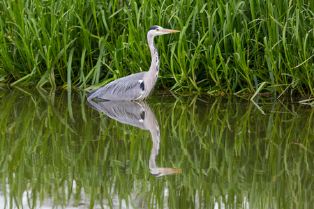 gray herons: grey heron (Ardea cinerea) standing in green environment and reed
