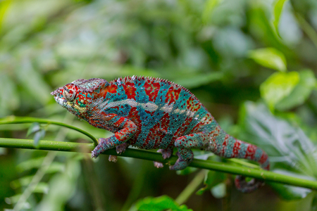 Macro of panther chameleon (Furcifer pardalis) Stock Photo