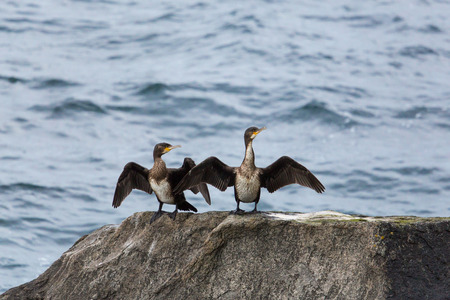 Two natural great cormorants (Phalacrocorax carbo) standing on rock and drying wings Stock Photo