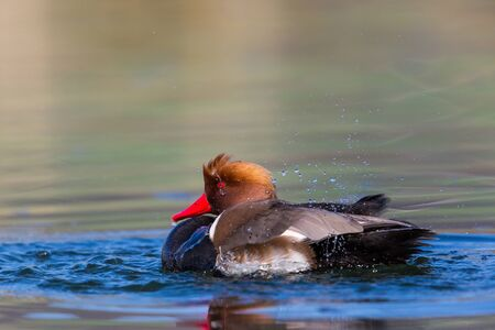crested duck: Male red-crested pochard (Netta rufina) swimming, pluming and splashing Stock Photo