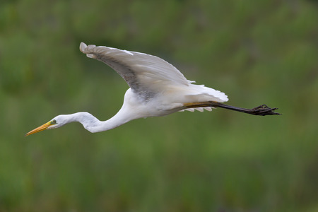 portrait of great white egret (egretta alba) in flight