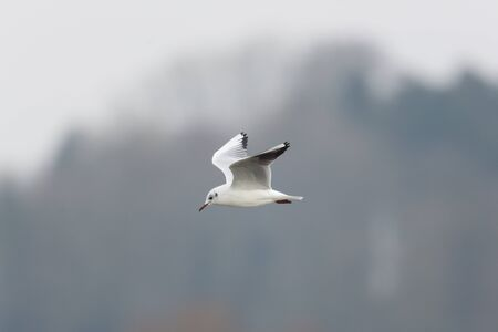 ridibundus: portrait of natural common black-headed gull ( Larus ridibundus) in flight