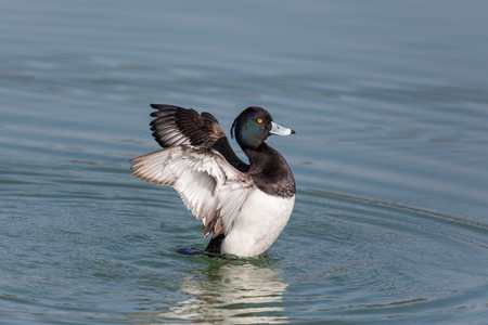 portrait of male tufted duck (Aythya fuligula) splashing and grooming with wings