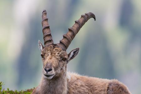 capricornio: Portrait of natural male capricorn ibex lying in meadow
