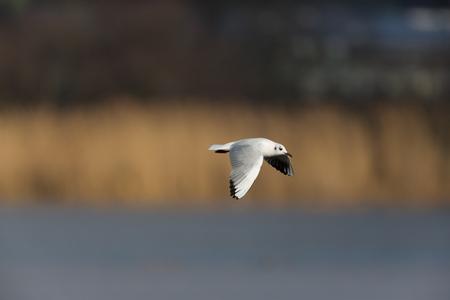 ridibundus: portrait of natural common black-headed gull (Larus ridibundus)