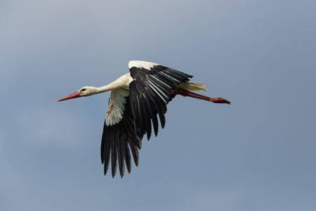 Portrait of flying natural white stork (Ciconia ciconia) in blue sky Reklamní fotografie
