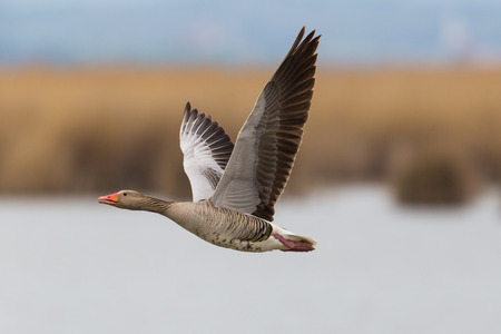 natural portrait of flying gray goose (anser anser) with reed and water