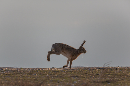 natural portrait of running brown hare  (Lepus europaeus)