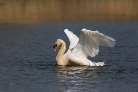 portrait of natural mute swan (Cygnus olor) cleaning plumage Stock Photo