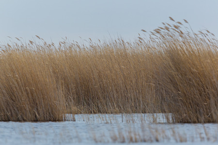 Natural reed belt with water and gray sky in the wind
