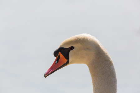 detailed portrait of isolated natural mute swan (Cygnus olor) head Stock Photo