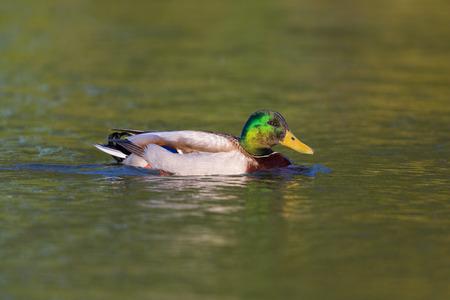 portrait of natural male mallard duck (Anas platyrhynchos) in green water Stock Photo