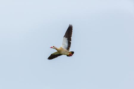 portrait of one isolated flying nile goose (Alopochen aegyptiaca)