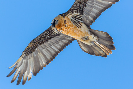 portrait of natural flying adult bearded vulture (Gypaetus barbatus) with blue sky