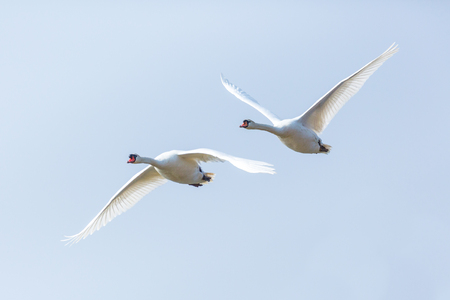 two isolated mute swans (cygnus olor) in consecutive flight