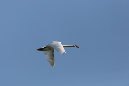 natural mute swan (cygnus olor) during flight blue sky