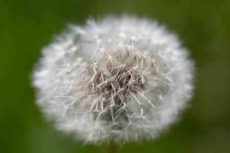 natural flower head of faded bloom of dandelion (Taraxacum officinale)