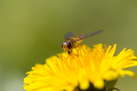 portrait of natural hoverfly sitting on yellow bloom with green smooth background Stock Photo