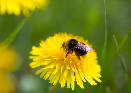natural bumblebee sitting on yellow bloom in green environment