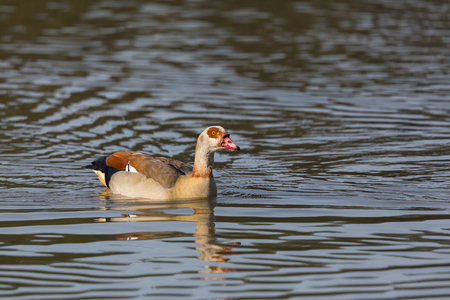 alopochen: one natural egyptian nile goose (alopochen aegyptiaca) swimming in water