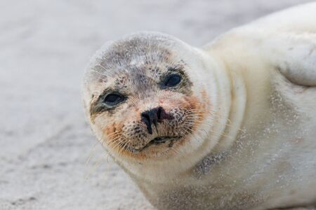 baby seal: portrait of natural young common seal (phoca vitulina) lying on sand beach
