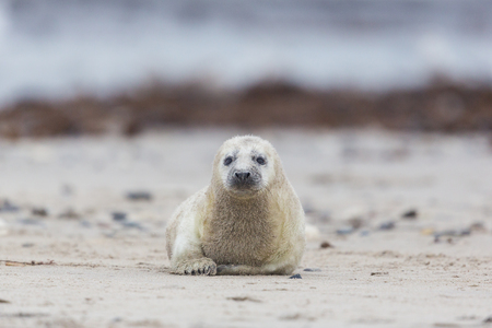 baby seal: natural pup of grey seal (Halichoerus grypus) crawling on sand beach Stock Photo