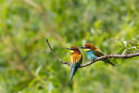 two natural european bee-eaters birds  (merops apiaster) sitting on branch in forest Reklamní fotografie - 80728620