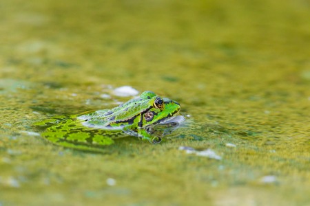 esculenta: portrait of natural green frog (Rana esculenta) sitting in water