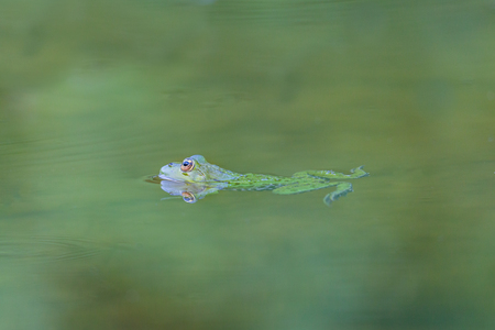 esculenta: natural reflected green frog (Rana esculenta) swimming in green water