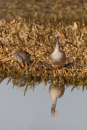 two gray geese (anser anser) standing on shore line in morning light