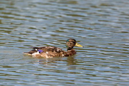 portrait natural young male mallard duck (anas platyrhynchos) swimming Stock Photo