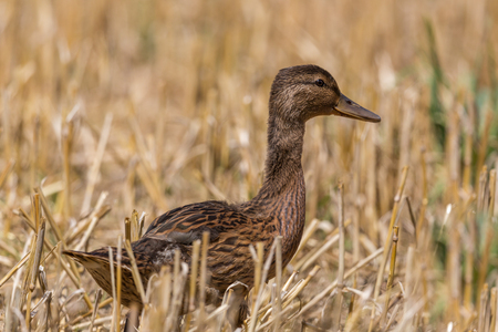 young mallard duck (anas platyrhynchos) standing in crop stubble in sunshine Stock Photo