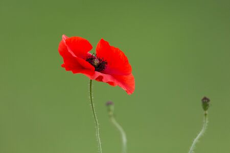 natural red blossom of corn poppy (Papaver rhoeas)