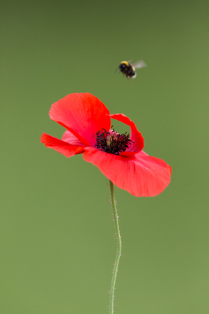 red blossom of corn poppy (Papaver rhoeas) with flying insect
