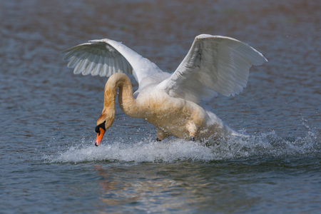 natural mute swan (Cygnus olor) running on water surface Stock Photo