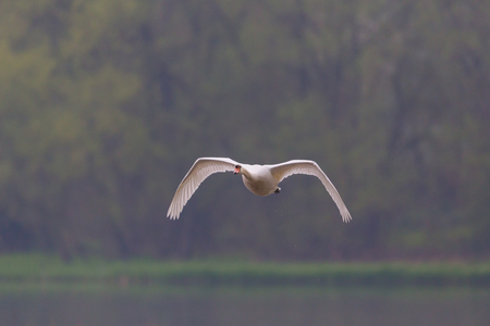 front view of natural flying mute swan (cygnus olor) with trees