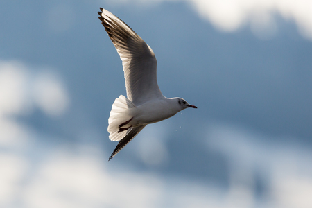 portrait natural flying black-headed gull (Larus ridibundus) with spread wings Stock Photo