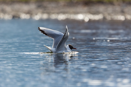 natural black-headed gull (Larus ridibundus) swimming spread wings Stock Photo