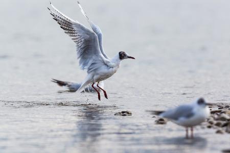 natural black-headed gull (Larus ridibundus) landing water surface