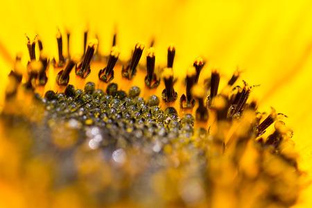 helianthus: macro of natural yellow sunflower bloom and pistils (helianthus annuus) Stock Photo