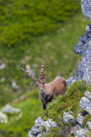 close view adult natural male alpine capra ibex capricorn standing in mountain meadow Stock Photo