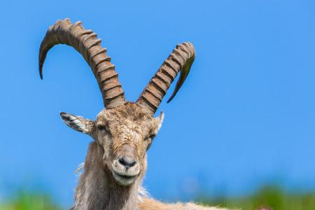 Vorderansichtporträt natürlicher männlicher alpiner Capra Ibex Steinbock blauer Himmel Standard-Bild - 89304504